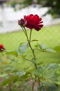 ゼーゼンハイム(Sesenheim)花