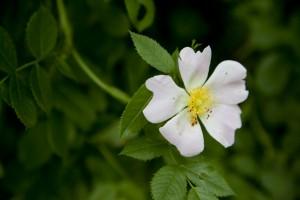 野ばらの花